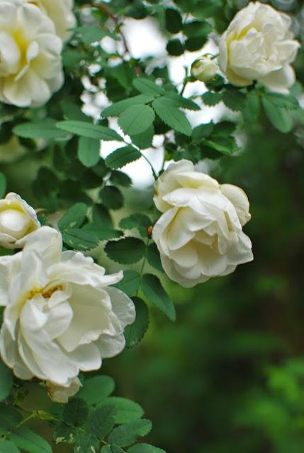 Juhannusruusu kukassa - Muonamiehen mökki