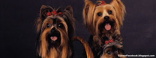 Yorkshire Terriers Photos for Facebook