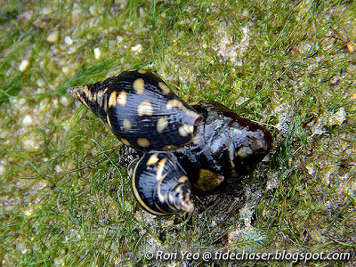 Lightning Dove Snails (Pictocolumbella ocellata)