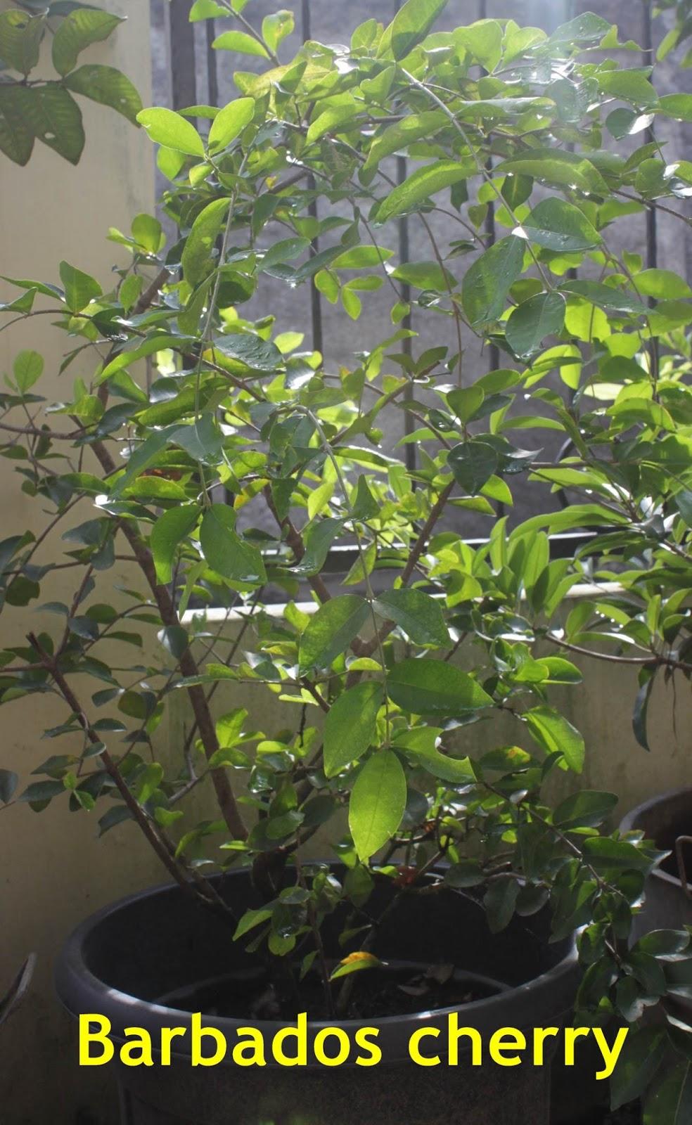 CHERRY Jaboticaba Anggur Brazil Barbados Cherry Grumichama