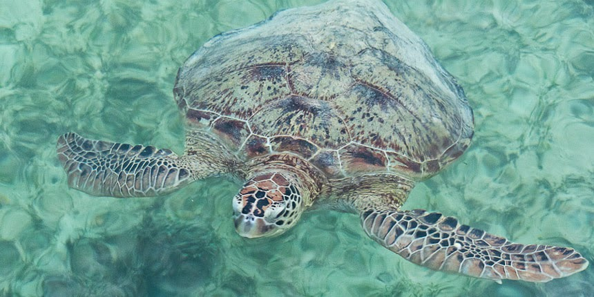sea turtle on Derawan Island, East Kalimantan, Indonesia