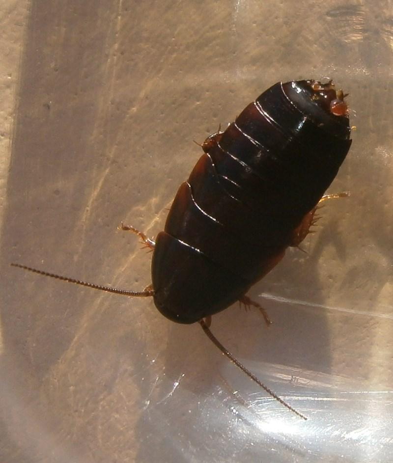 Hisserdude's Roaches - Page 2 P.bolliana%25234