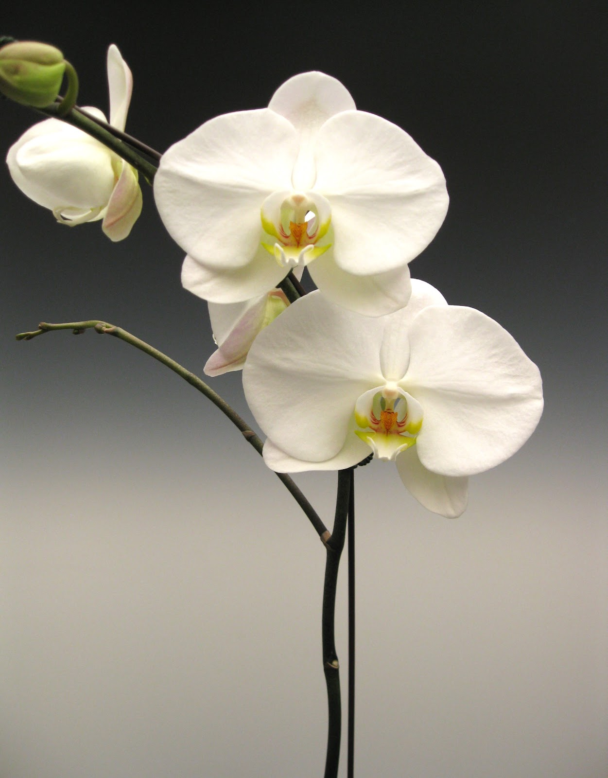 White Orchid Flower