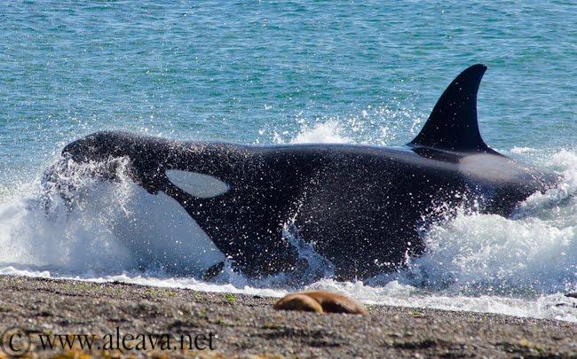Orca's brengen: Veelvuldig een bezoek aan de wateren rondom het schiereiland