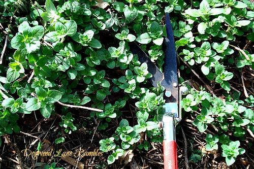oregano dogwoodlanerambles.blogspot.com