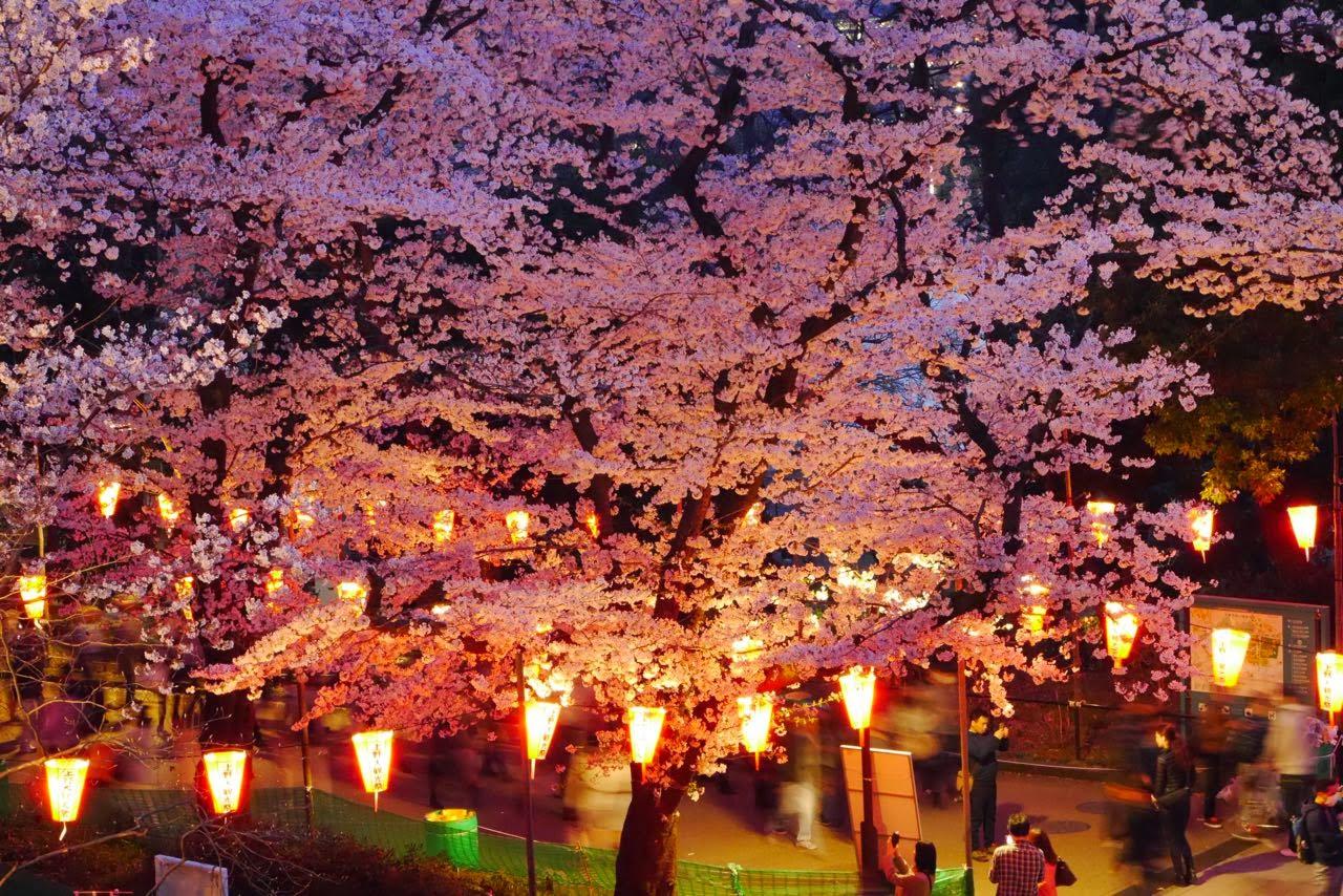 上野公園, 桜 , Ueno Park, Sakura, Cherry Blossoms, 夜桜
