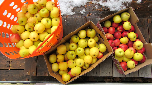 2 boxes and 1 plastic laundry hamper full with this season's golden apples