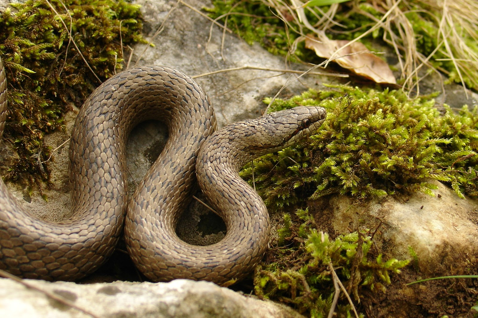 Froglife News Dragon Of The Month Smooth Snake