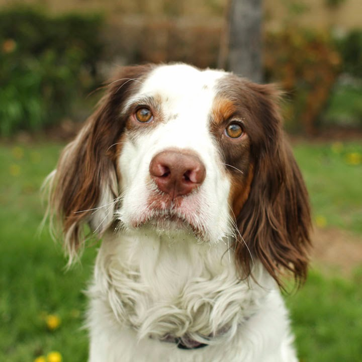Donovan - Welsh Springer Spaniel Welsh Springer Spaniel Adoption