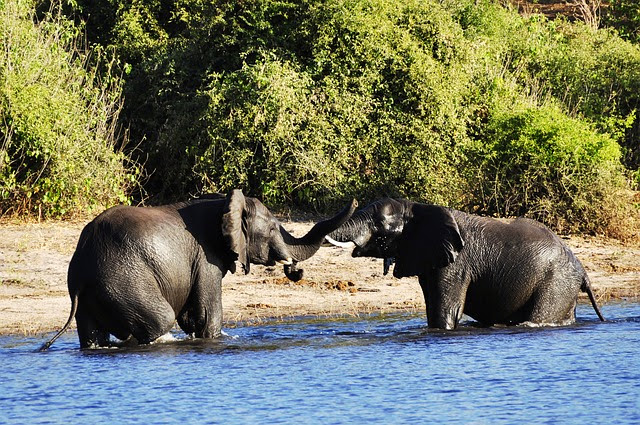 Elephants playing in water during hot botswanian summer