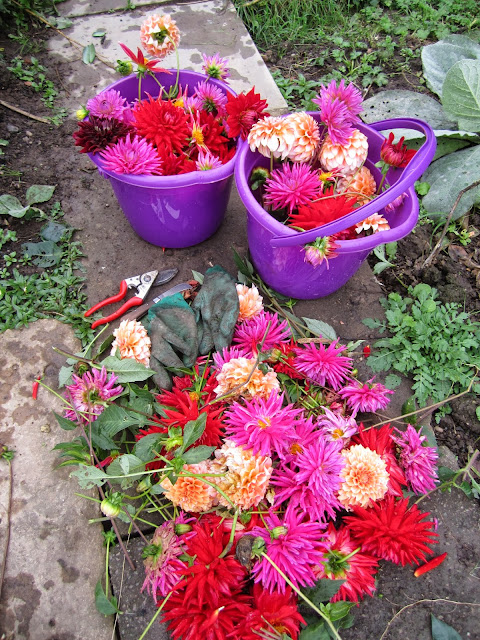 Deadheading dahlias prolongs their flowering period and gives bucketsful of blooms