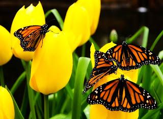 Mariposas en tulipanes amarillos