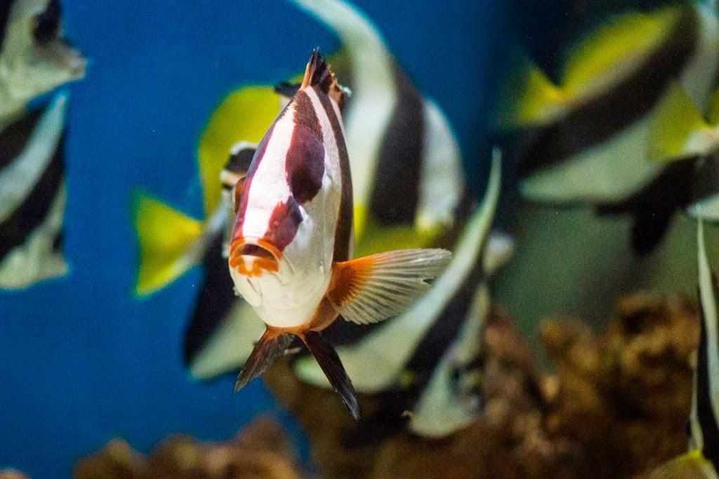 állatvilág, császár csattogóhal, természet, orvostudomány, tudomány, Magyarország, Nyíregyházi Állatkert, Nelson