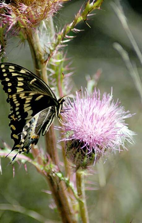 Swallowtail on Cirsium horridulum