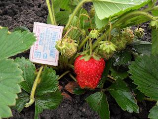 Первая ягодка сорт Идун