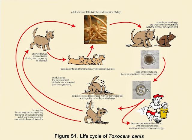 Vòng đời của giun đũa chó mèo