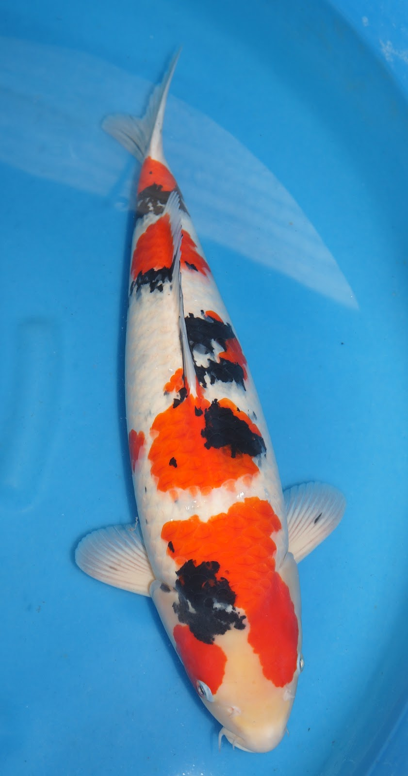Koi for sale 1st asia young koi show 2012 results of for Show koi for sale
