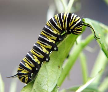 Caterpillars mainly feed on leaves plants and flowering plants and