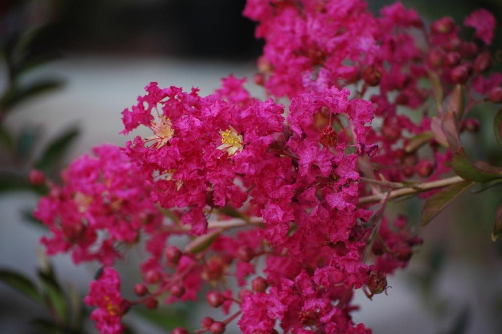 Flores de fin de verano lagerstroemia for Vivero los penotes