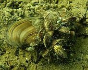 Foto cover Risicobeoordeling en uitzetcriteria voor de uitheemse quaggamossel (Dreissena rostriformis bugensis)in Nederland