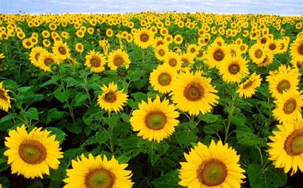 Manfaat dan Khasiat Bunga Matahari