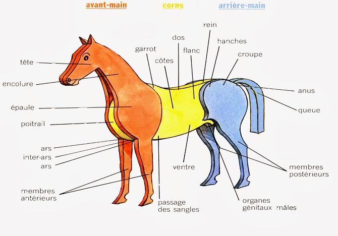 l 39 exterieur du cheval medecine veterinaire