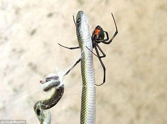 عنكبوت يصطاد أفعى ويعلقها في شبكته ويلتهمها على عدة أيام!