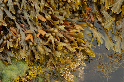 Bladderwrack (Fucus Vesiculosus) Overview, Health Benefits, Side effects