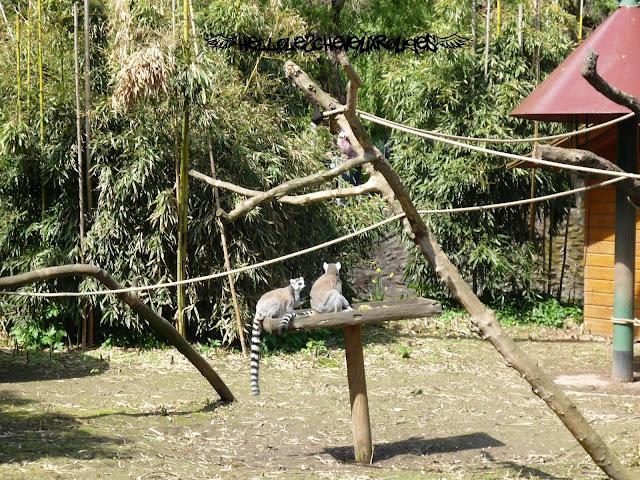 Singes à la queue rayée noir et blanc perchés sur une branche à Touroparc