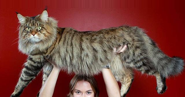 Srikandi Inilah Kucing Terbesar Di Dunia