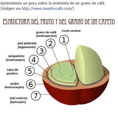 Tu Café Espacio: Estructura del fruto y grano del café