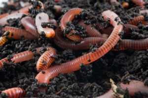 70 ekor cacing tanah dikahwinkan