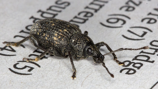 Vine Weevil, Otiorhynchus sulcatus, found just inside my window in Hayes and photographed on the Guardian, 28 September 2011.