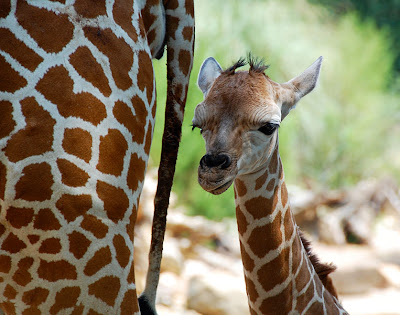 Giraff-With-Day-Old-Baby