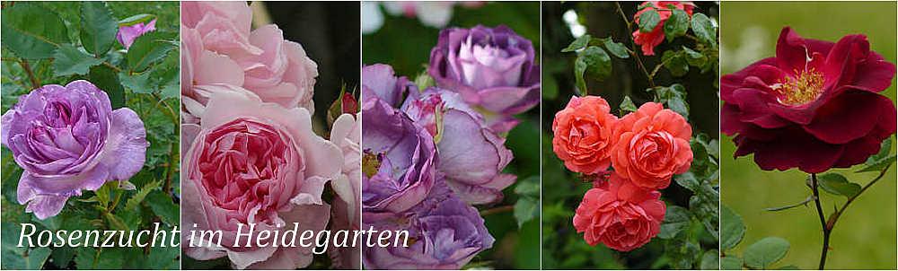 <center>Rosenzucht im Heidegarten</center>