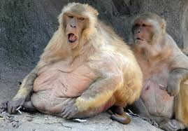 Funny pictures of fat monkeys |Funny Pics Fat Monkey Wallpaper