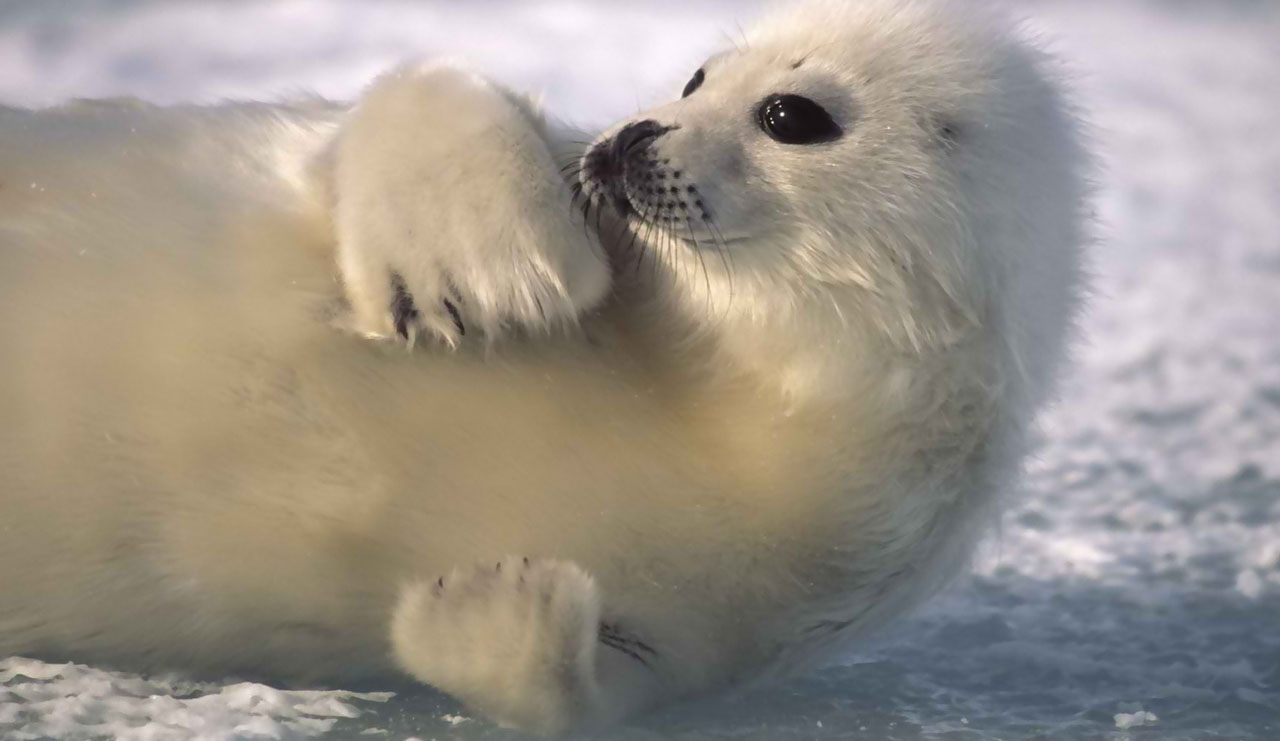 white baby seal | Animal Photography - photo#19