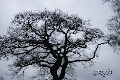 siluett av avlövat träd mot bakgrund av grå himmel. foto: Reb Dutius