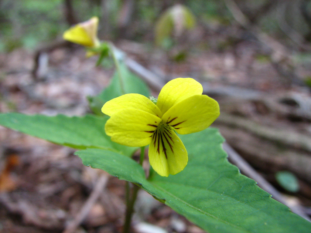 Mid Atlantic Nature How To Identify The Yellow Violets Of The Mid