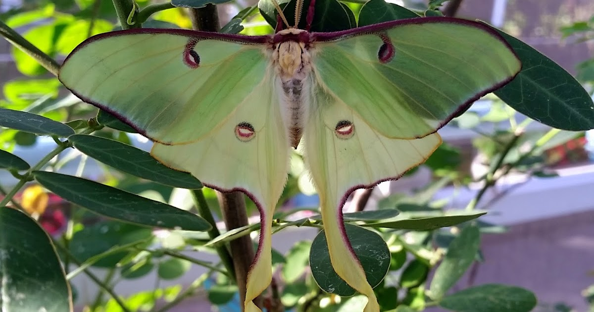 Brown luna moth