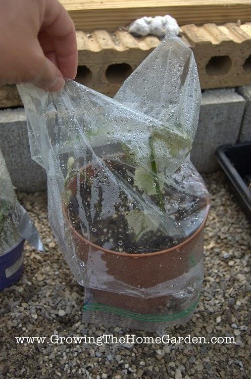 propagate grape vine cuttings