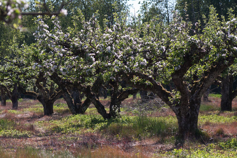 Köpa fruktträd skåne