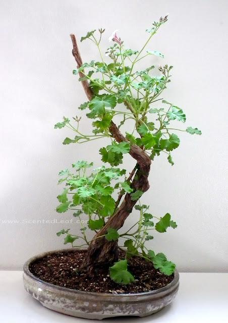 Pelargonium xfragrans white-nutmeg variety