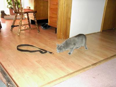 grey cat sniffs belt