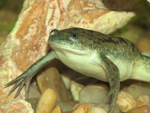 Resultado de imagen de rana de uñas
