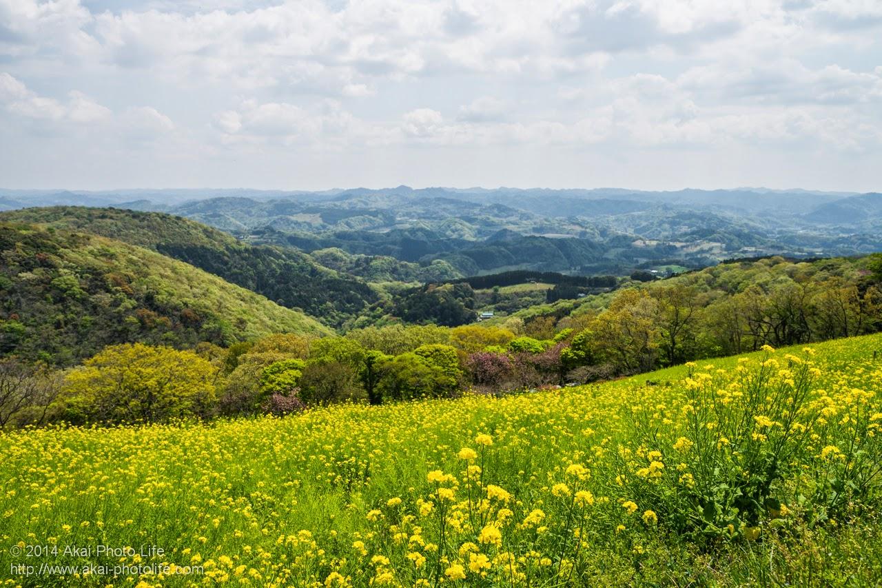 マザー牧場 丘一面に咲く菜の花