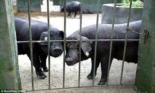 Khoảng 200 con lợn cùng 2000 con gà và một ao cá được nuôi chỉ để dự báo động đất ở Trung Quốc.