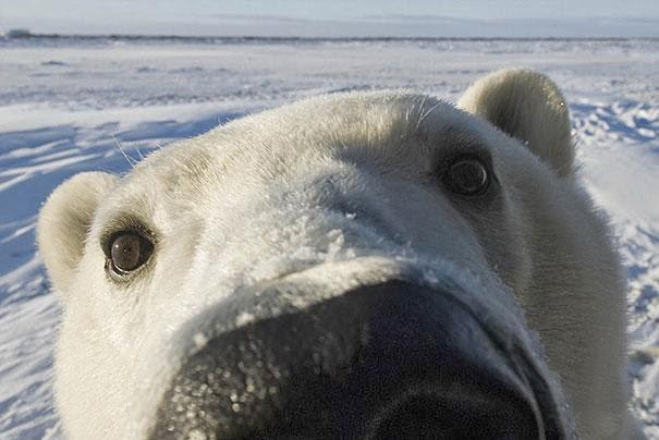 selfie de oso polar