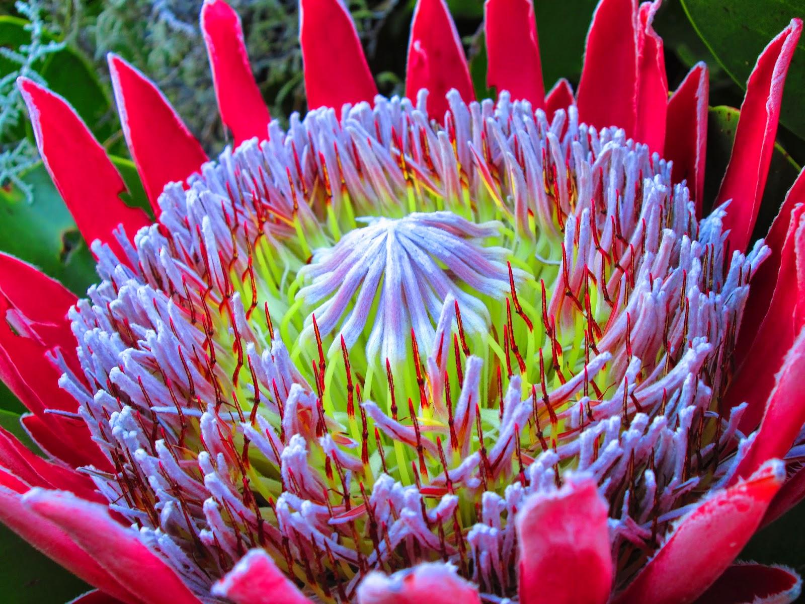 King Protea Hoare Hut Hike