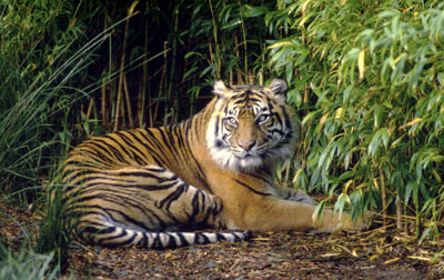 gambar harimau sumatera - gambar harimau - gambar harimau sumatera